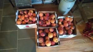 Peaches - 2 bushels of 2nds