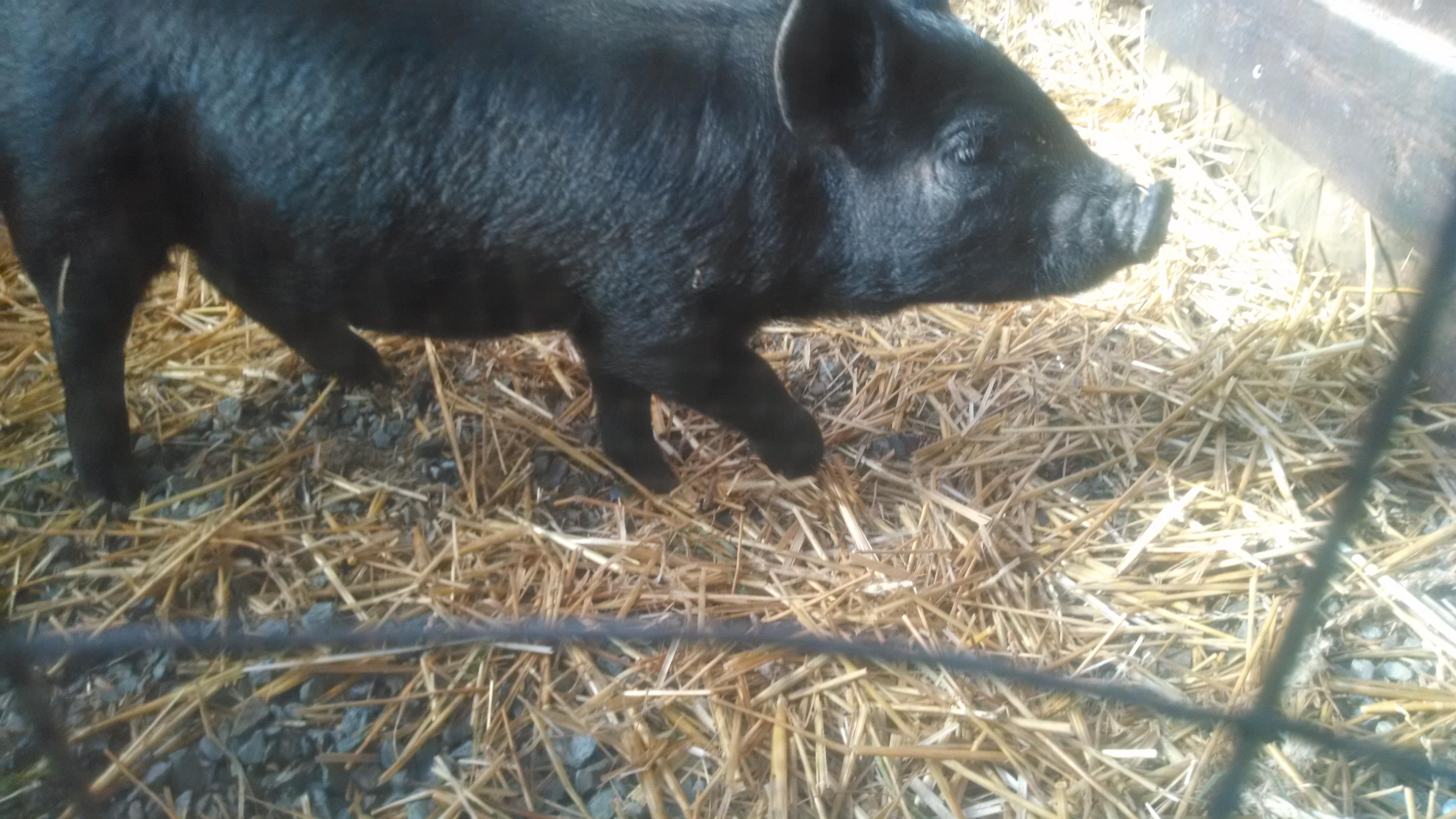 Meet Our New Pig: Dorothy Dottie Dot