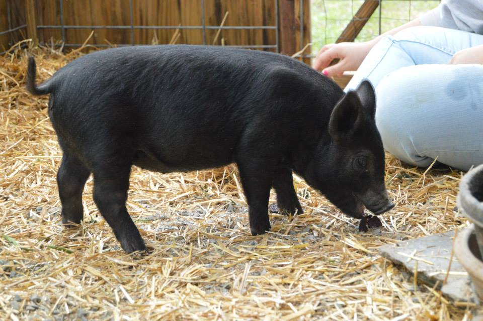 Dotty the Pig is getting bigger every day